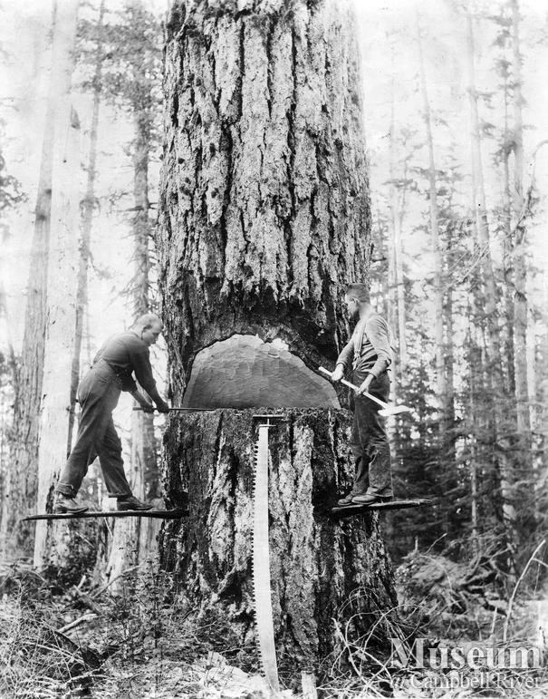 Loggers putting the undercut in a tree before falling