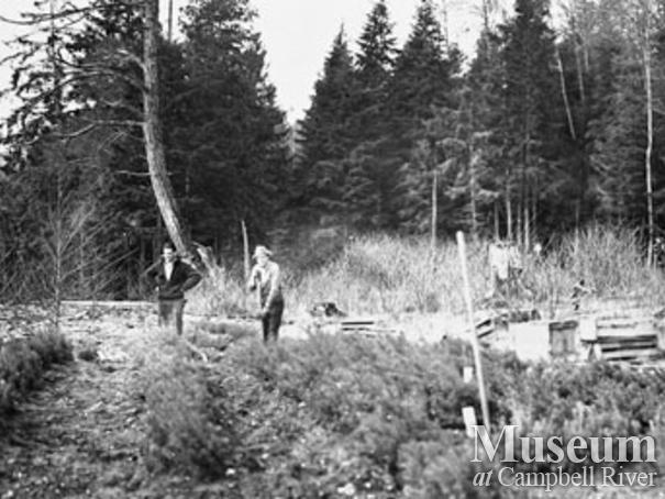 Douglas fir seedlings heeled in at Knox Bay