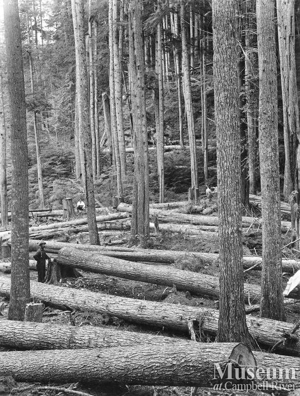 View of fallen hemlock logs
