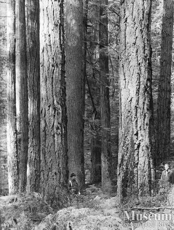 A typical stand of fir