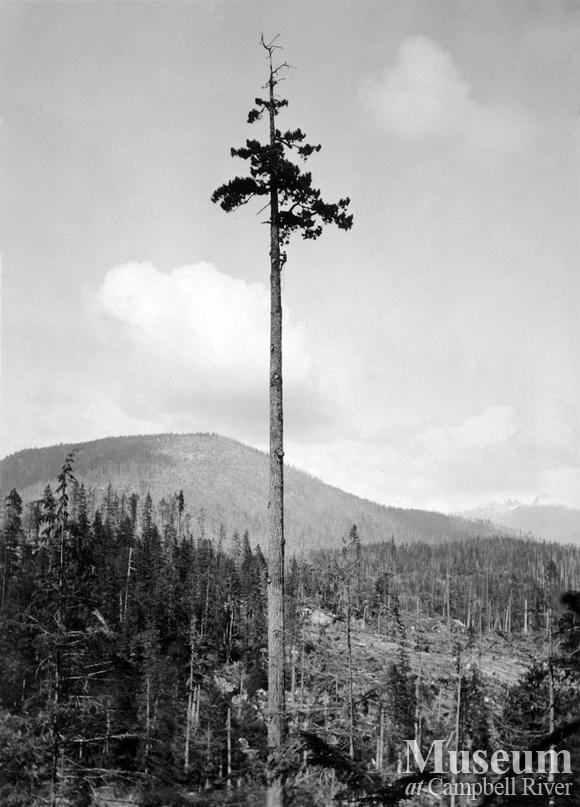 Topping a spar tree at Hemming Lake
