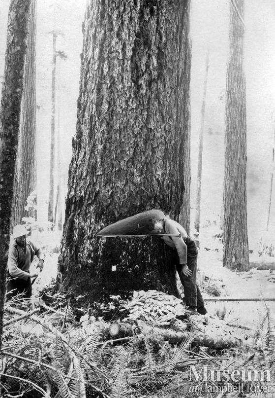 A large fir with an undercut near Woss Camp