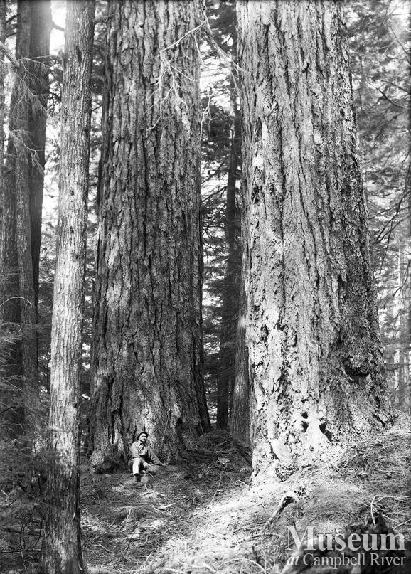 A stand of big fir trees