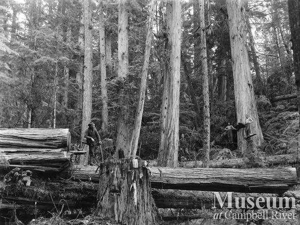 View of fallen cedar logs