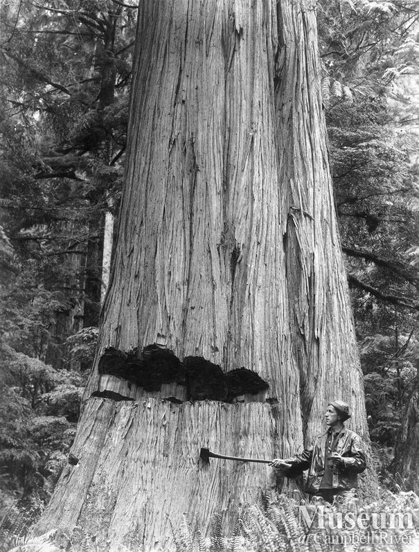 Old growth Cedar with undercut